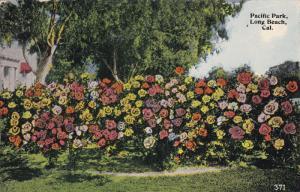 Rose Bushes, Pacific Park, Long Beach, California, PU-1915