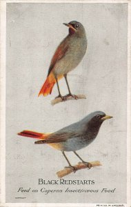Black Redstarts Feed on Caperns Insectivorous Food Postcard