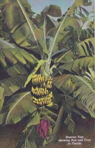 Florida Banana Tree Showing Bud And Fruit In Florida