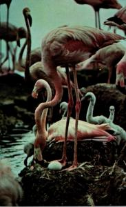 Birds Flamingos and Nests At Hialeah Race Course Miami Florida