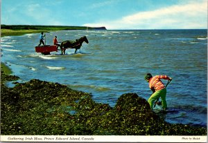 Gathering Irish Moss Prince Edward Islands Canada Postcard used 1974