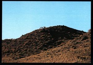 Wild Sheep are extremely careful Human presence MONGOLIA Real Photo MNR Postcard