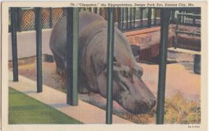1947 Kansas City Missouri Mo Hippo Hippopotamus Swope Park Zoo CLEOPATRA