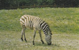 Zebra,  Alberta Game Farm,  Edmonton,  Alberta,  Canada,  40-60s
