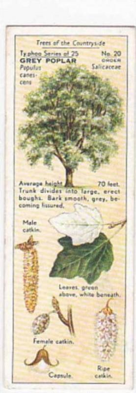Typhoo Tea Vintage Trade Card Trees Of The Countryside 1936 No 20 Grey Poplar