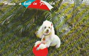 Poodle Havin' A Ball In Florida