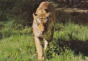 Siberian Tiger Calgary Zoo St Georges Island Calgary Alberta Canada