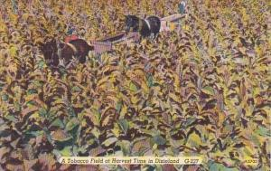 A Tobacco Field At Harvest Time In Dicsieland