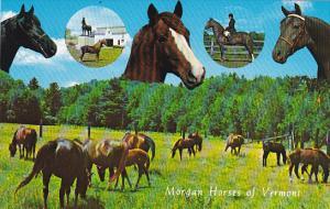 Morgan Horses Of Vermont