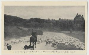 New Zealand; A Sheep Droving Scene, Finest Lamb In The World PPC, Unused, c 1920