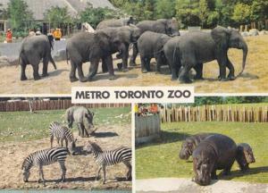 Elephants Zebra Hippo at Metro Toronto Zoo Canadian Postcard