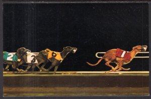 Greyhound Racing in Arizona