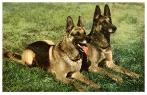 Dog ,  German Shepherd Dogs