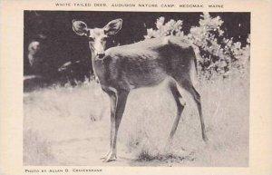Maine Medomak Audubon Nature Camp White Tailed Deer Artvue