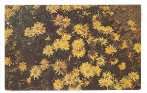 Chrysanthemums, Trinidad, West Indies, 40-60s