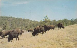 Buffalo in National Park, Fort Collins, Colorado, 40-60s