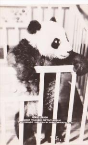 Giant Panda Bear Chicago Zoological Park Brookfield Illinois Real Photo