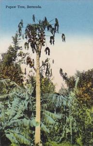 Papaw Tree,  Bermuda, 00-10s
