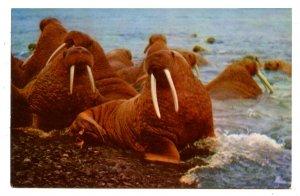 Walrus in Alaska