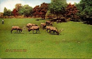 New York Zoological Park Part Of Elk Herd