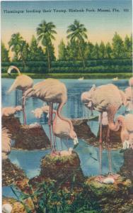 Flamingos feeding their Young at Hialeah Race Track Miami FL Florida pm 1947