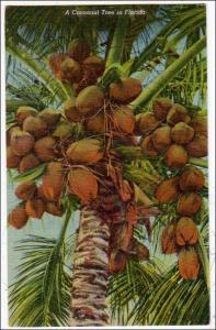 Coconut Tree in Fl