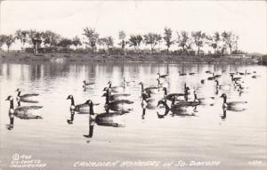 Geese Canadian Honkers In South Dakota Real Photo