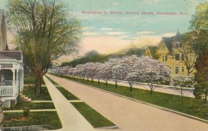 Oxford Street Magnolias in Bloom - Rochester NY, New York - DB