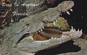 Close up of a Fourteen Foot Crocodile, Florida, PU-1976