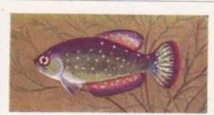 Pukka Tea Vintage Trade Card Aquarium Fish 1961 No 39 Argentine Pearl Fish