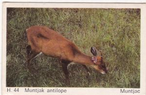Trade Card Dandy Gum Wild Animals H 44 Muntjac