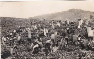Sri Lanka Ceylon Plucking Tea Up-Country Estate Real Photo sk4198