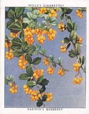 Wills Vintage Cigarette Card Flowering Shrubs 1934 No 7 Darwin's Barberry