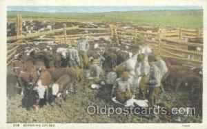 Western Cowboy Postcard Postcards  Branding Calves