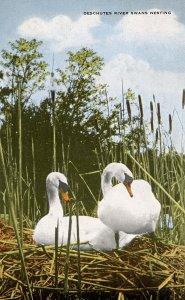Swans Nesting Along the Deschutes River in Oregon