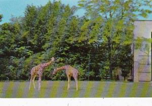 Illinois Chicago Giraffes At Brookdield Zoo
