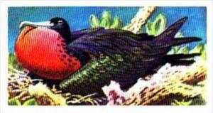 Brooke Bond Trade Card Tropical Birds No 34 Frigate Bird