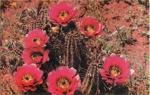 Hedgehog Cactus, ( Echinocereus Fendleri ), Chrome