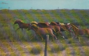 North Carolina Ocracoke Island Wild Ponies On National Park Range