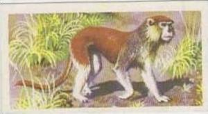 Brooke Bond Tea Vintage Trade Card African Wildlife 1962 No 5 Patas Monkey