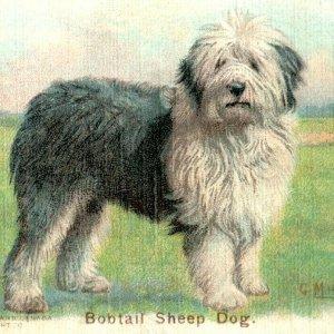 1900s Dwight's Soda New & Champion Dog Series Bobtail Sheep Dog Lot Of 5 P222