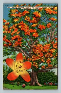 Clearwater FL, Kapok Tree, Red-Orange Blooms, Linen Florida Postcard