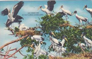 Florida Wood Ibis In The Florida Everglades 1961