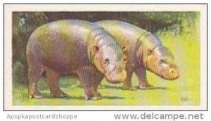 Brooke Bond Vintage Trade Card Wildlife In Danger 1963 No 13 Pygmy Hippopotamus