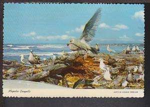 Seagulls Postcard BIN