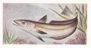 Whitefish Authorit Vintage Trade Card The Fish We Eat 1954 No 13 Hake