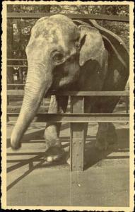 Beautiful ELEPHANT behind the Fence (1940s) RPPC