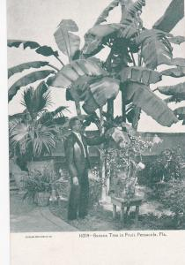 Banana Tree in fruit , PENSACOLA , Florida , 1901-07
