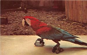 D74/ Hot Springs National Park Arkansas Postcard Animal Wonderland Skating Macaw
