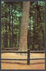 The Monarch Pine Tree,Hartwick Pines Stste Park,Grayling,MI BIN